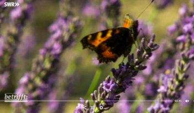 Lavendelanbau statt Wein an der Mosel